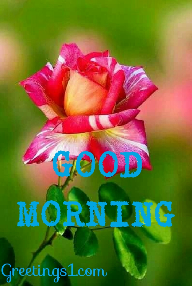 Good morning quotes and images good morning message - Good morning rose image ...